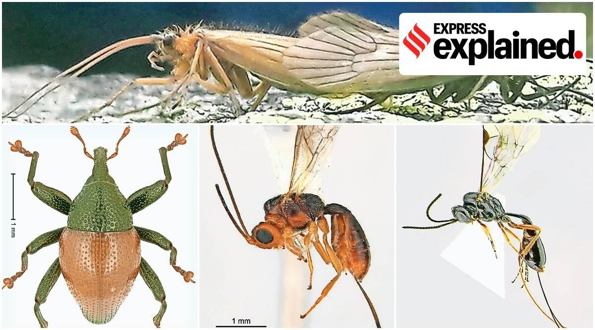 This Word Means: Trigonopterus corona - The Indian Express