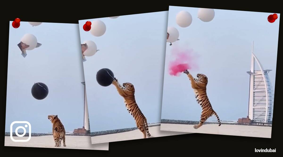 tiger used in gender reveal party viral video, Dubai couple tiger gender reveal party trending, indian express, indian express news