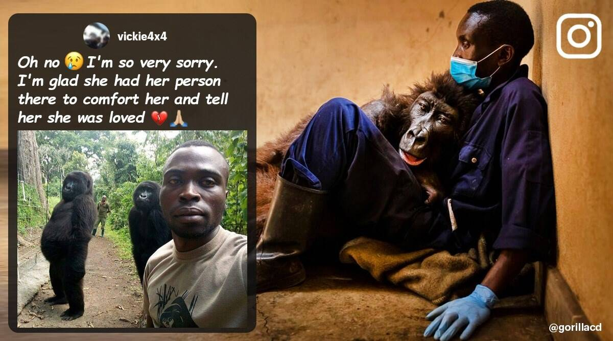 viral mountain gorilla dies, mountain gorilla selfie, two mountain gorilla viral selfie, mountain gorilla, Ndakasi mountain gorilla dies, viral news, indian express